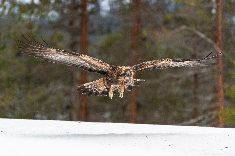 Ein Steinadler im Flug.