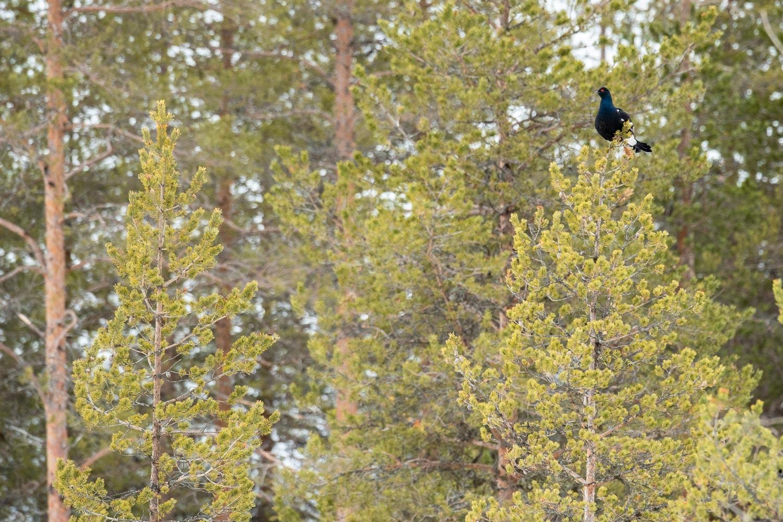 Ein Birkhahn sitzt auf einem Baum.