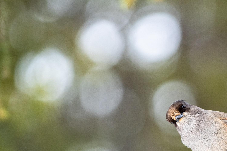 Ein Unglückshäher blickt neugierig in die Kamera, Kuusamo, Finnland